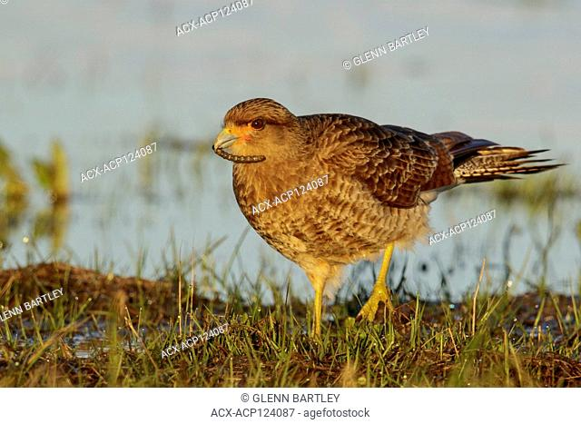 Chimango Caracara, (Milvago chimango, perched on the ground in Chile