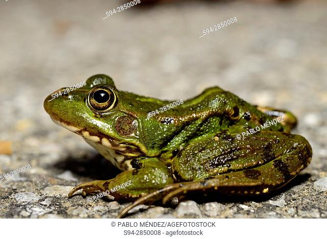 Common green frog (Pelophylax perezi) in a pond of Mouruas, Orense, Spain