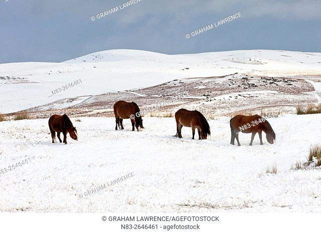 Ponies forage for food in the snow on the Mynydd Epynt moorland, Powys, Wales, UK
