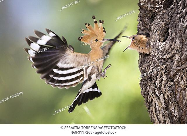 Hoopoe, Upupa epops coming to the nest to feed the young, Montuiri, Majorca, Balearic Islands, Spain