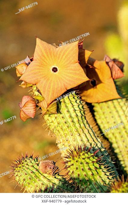 Hoodia gordonii, Richtersveld, South Africa