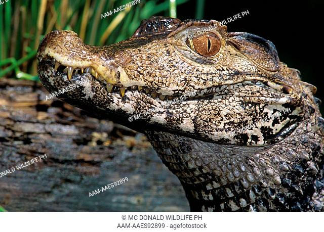 Caiman Stock Photos and Images | age fotostock