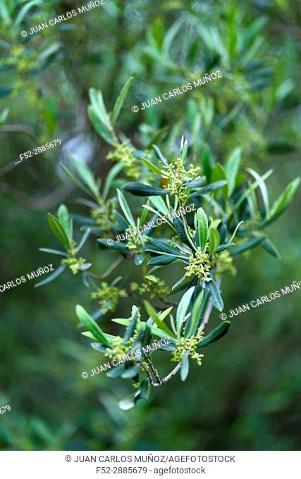 Olive tree (Olea europaea). Parc Natural dels Ports, Terres de l'Ebre, Tarragona province, Catalunya, Spain