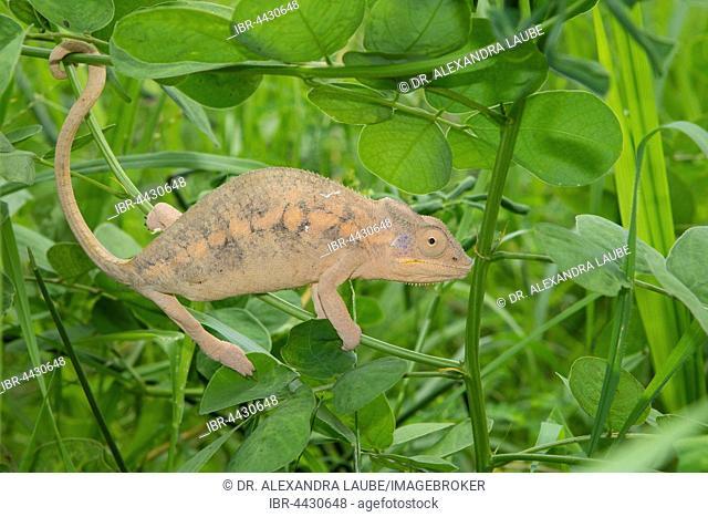 Panther chameleon (Furcifer pardalis), female, between Ambilobe and Sirama, northwestern Madagascar, Madagascar