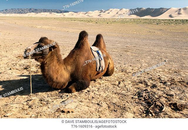 twin humped Bactrian camel in the Gobi Desert of Mongolia