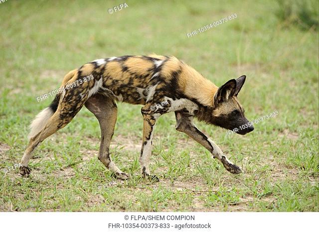 African Wild Dog Lycaon pictus adult, walking, Kwando Lagoon, Linyanti, Botswana