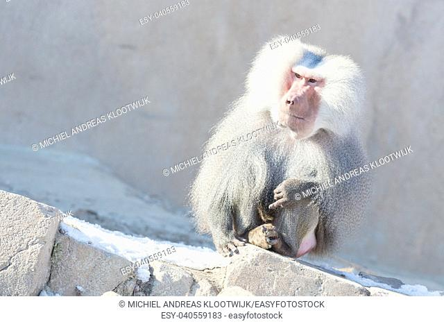 Close up of male hamadryas baboon in the winter