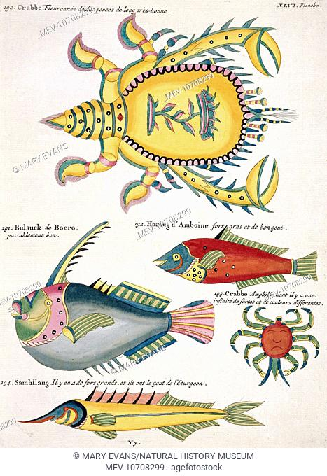 Plate 46 From Louis Renard S Poissons Ecrevisses Et Crabes Vol 2 1754 Stock Photo Picture And Rights Managed Image Pic Mev 10708299 Agefotostock