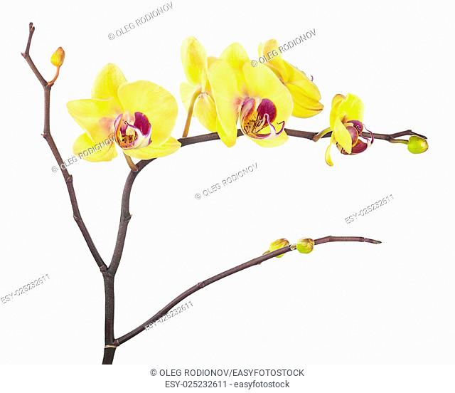 Blooming twig of yellow purple orchids isolated on white background