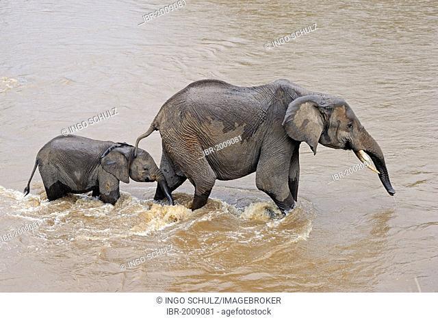 African Bush Elephant (Loxodonta africana), mother with calf while crossing the Mara River, Masai Mara, Kenya, East Africa, Africa