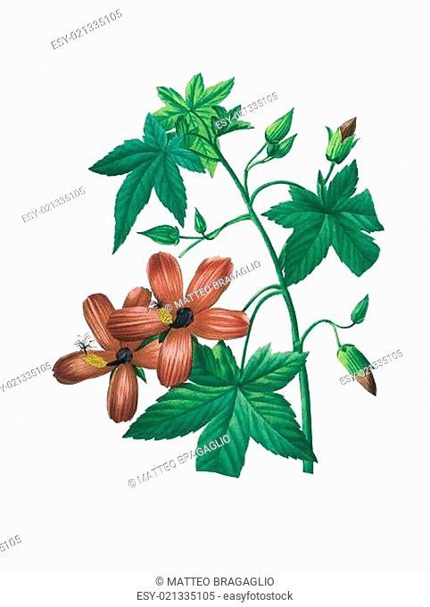 flower antique illustration hibiscus