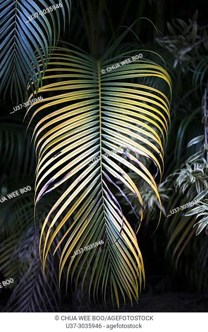 Palm tree areca bamboo, Kuching, Sarawak, Malaysia