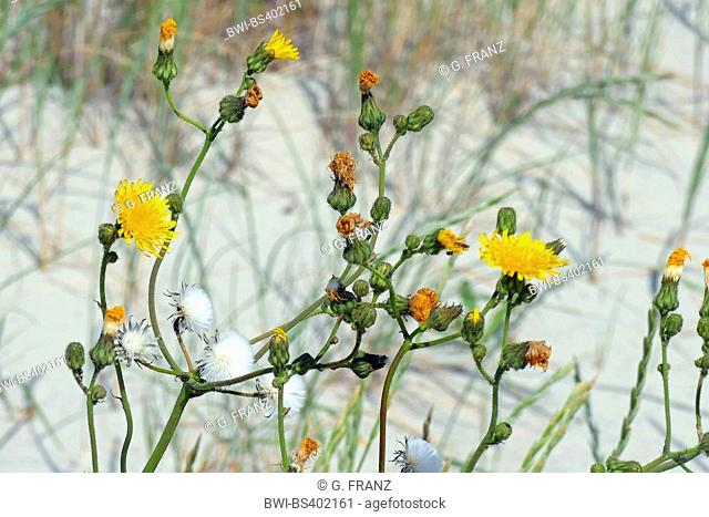 Field sow thistle, Corn sow-thistle, Perennial sow thistle (Sonchus arvensis), blooming Field sow thistles in the dunes, Germany, Schleswig-Holstein
