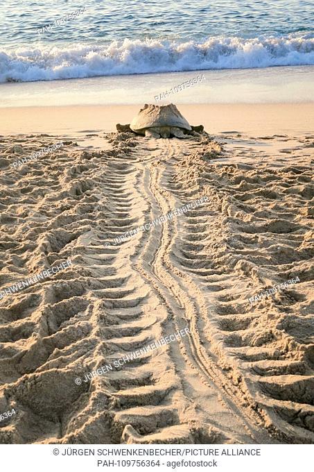 A Green Sea Turtle (Chelonia mydas) is heading towards the sea at dawn on a protected stretch of beach near Ras al-Jinz (Oman)