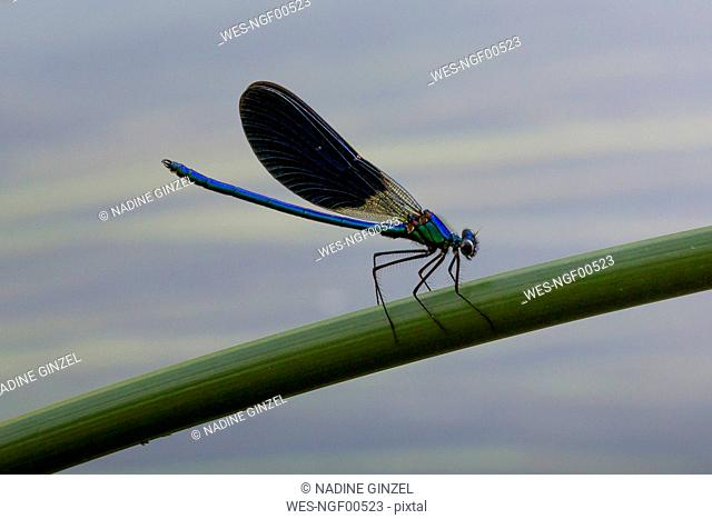 Croatia, Blue damselfly perching on plant stem