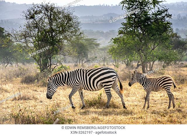 Grant's zebra (Equus quagga boehmi) Nakuru National Park, Kenya