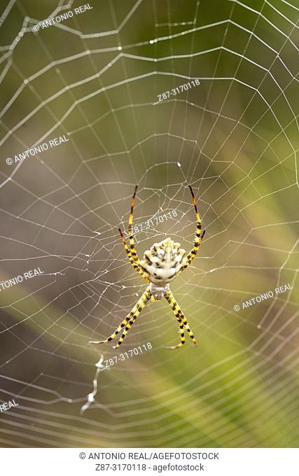 Spider on web (Argiope lobata). Almansa, Albacete province, Spain