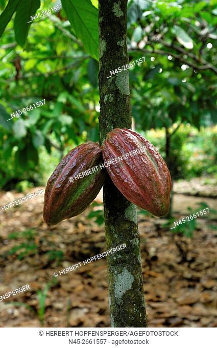Cacao fruit (Theobroma cacao), Tree el Yunque, Guantanamo Province, Cuba