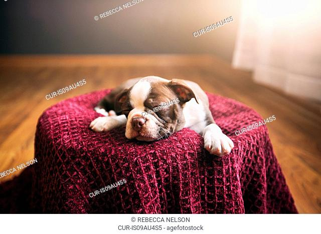 Boston Terrier puppy lying on purple blanket, eyes closed, sleeping