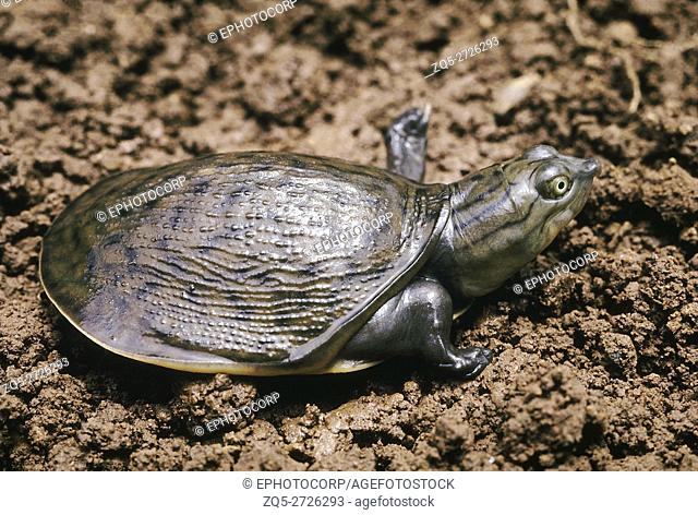 Lissemys Punctata. Indian Flapshell turtle. This turtle has a leathery carapace. It is found in ponds, rivers and lakes and aestivates in moist soil during the...