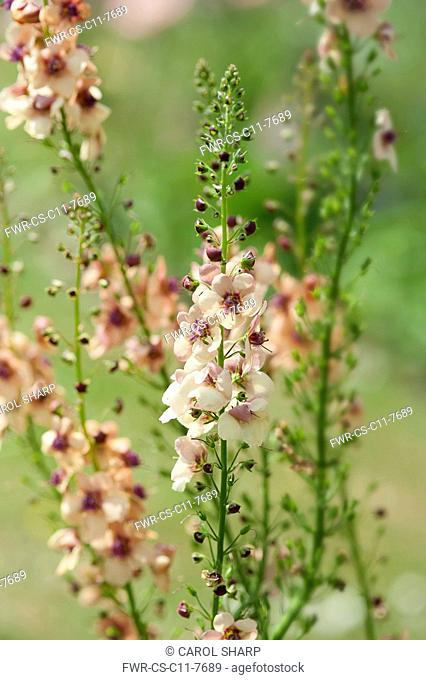 Mullein, Verbascum 'Southern Charm', Side view of several stems bearing pale apricot flowers with dark centres