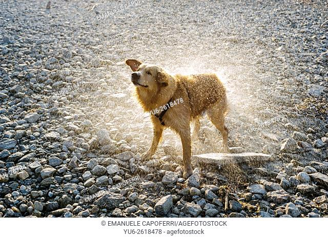Golden retriever shakes on the beach, Ispra, Lake Maggiore, Italy