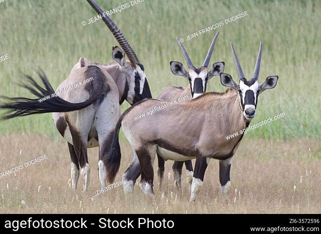 Gemsboks (Oryx gazella), mother with two young male oryxes, standing in the tall grass, Kgalagadi Transfrontier Park, Northern Cape, South Africa, Africa