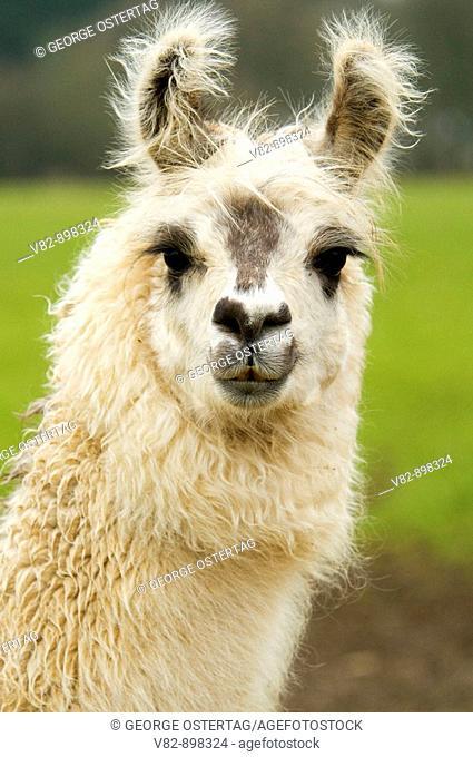 OR37975 Llama, Linn County, OR