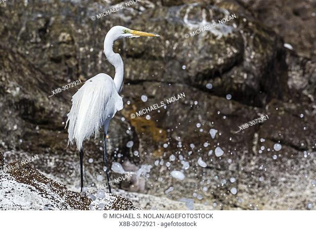Adult great egret, Ardea alba, fishing at Isla San Pedro Martir, Baja California, Mexico