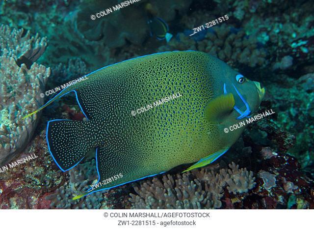 Semicircle Angelfish (Pomacanthus semicirculatus), Manta Alley dive site, Padar Island, Komodo National Park, Indonesia