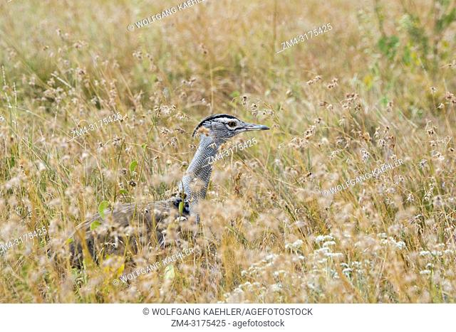 A kori bustard (Ardeotis kori), the largest flying bird native to Africa, is walking through the grasslands looking for food at the Lewa Wildlife Conservancy in...