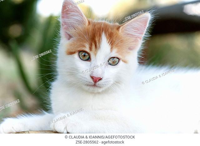 Portrait of a white and red kitten looking at camera