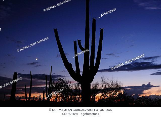 Saguaro Cactus Carnegiea gigantea tower over Saguaro National Park West in the Sonoran Desert in Tucson, Arizona, USA
