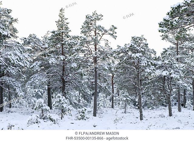 Scots Pine (Pinus sylvestris) forest habitat in snow, Rothiemurchus Forest, Strathspey, Cairngorms N.P., Highlands, Scotland, January