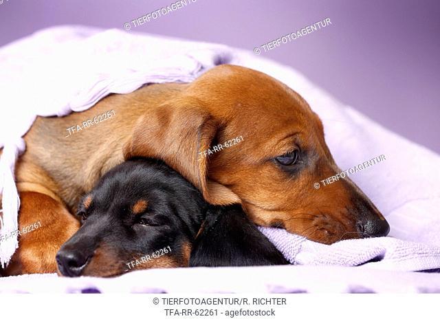 2 shorthaired Dachshund Puppies