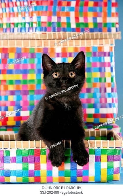 British Shorthair. Black kitten in a multicoloured basket. Germany