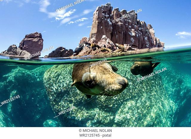 California sea lions (Zalophus californianus), half above and half below at Los Islotes, Baja California Sur, Mexico, North America