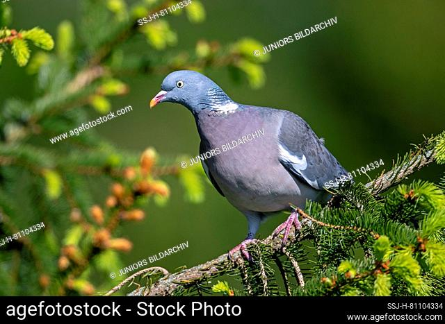 Common Wood Pigeon (Columba palumbus). Adult standing on a spruce twig. Germany