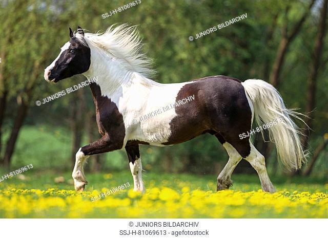Pinto. Skewbald gelding trotting on a meadow. Germany