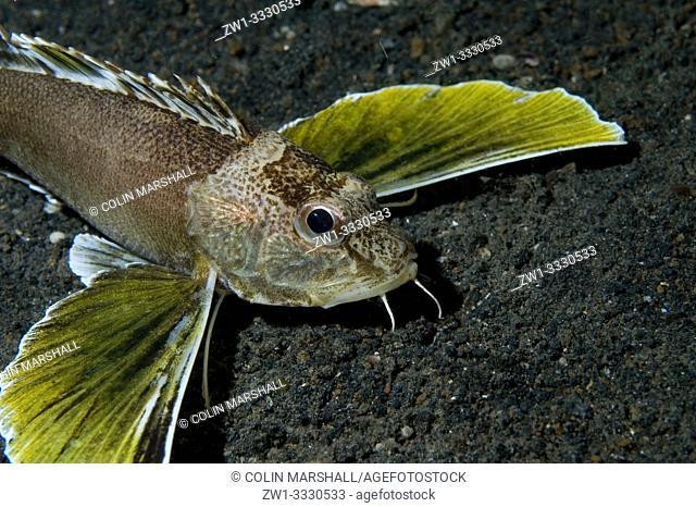 Ocellated Waspfish (Apistus carinatus, Apistidae family) displaying pectoral fins, TK2 dive site, Lembeh Straits, Sulawesi, Indonesia