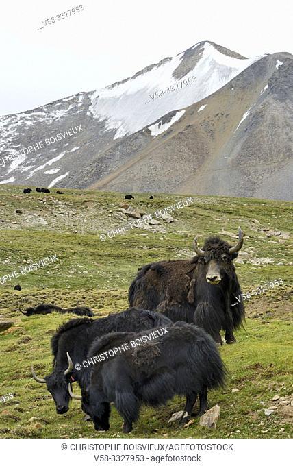 India, Jammu & Kashmir, Ladakh, Wari La pass (5245 m), Yaks