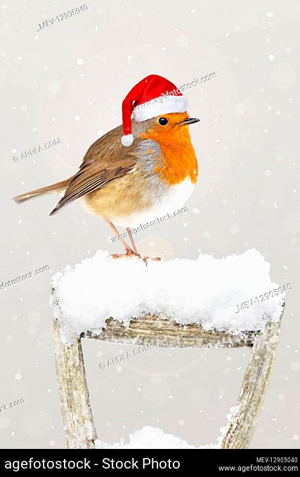 Robin, wearing Christmas hat on garden fork handle in snow