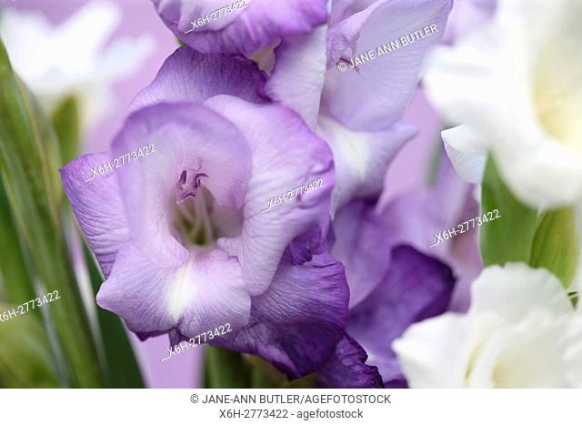 elegant hardy gladioli, arching flowering stems of purple and white blooms