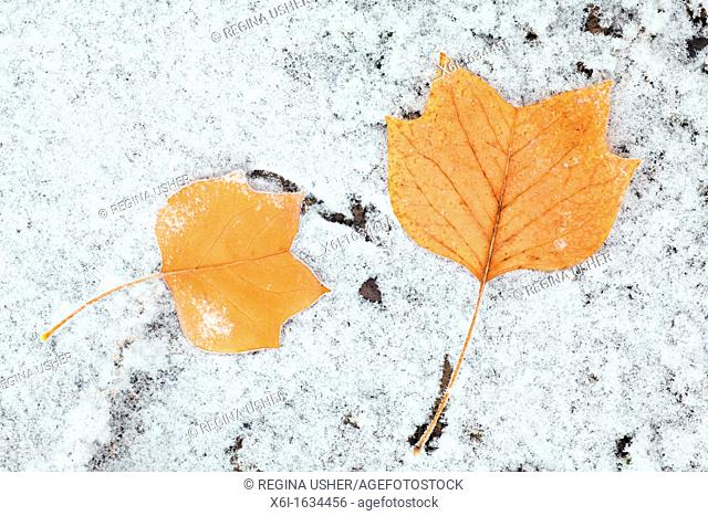 Tulip Tree Liriodendron tulipifera Leaves on ground, covered with frost, Lower Saxony, Germany