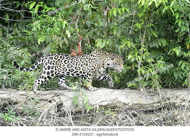 Jaguar (Panthera onca) walking along riverbank, Pantanal, Mato Grosso, Brazil
