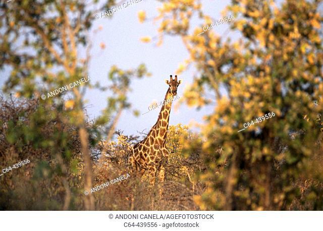 Giraffe (Giraffa camelopardalis). Etosha National Park. Namibia