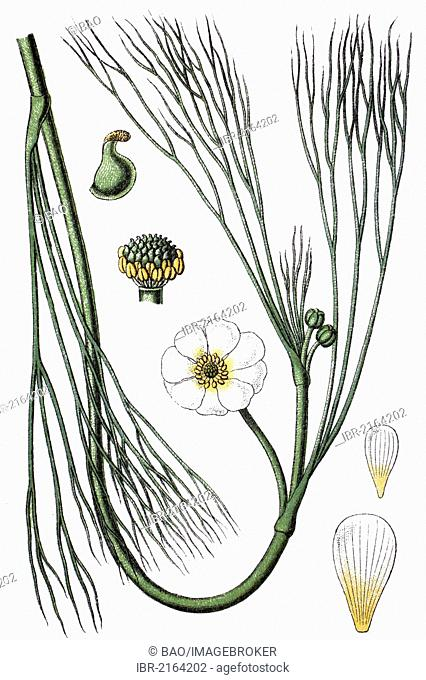 River water crowfoot (Ranunculus hybridus fluitans), medicinal plant, crop plant, chromolithography, about 1870