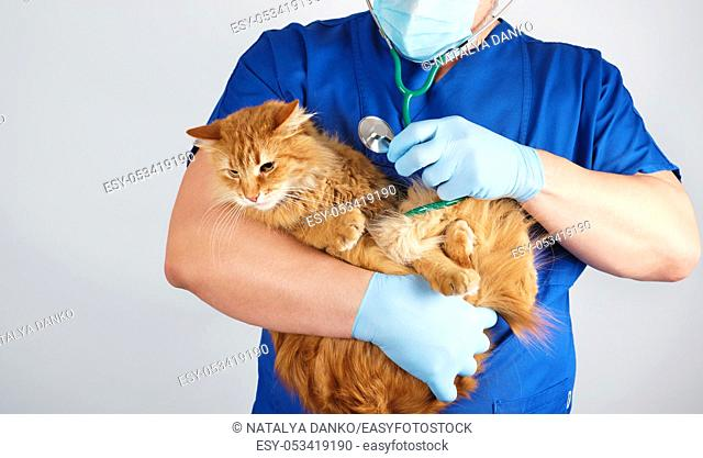 Veterinarian in blue uniform and sterile latex gloves holds and examines a big fluffy red cat, gray background