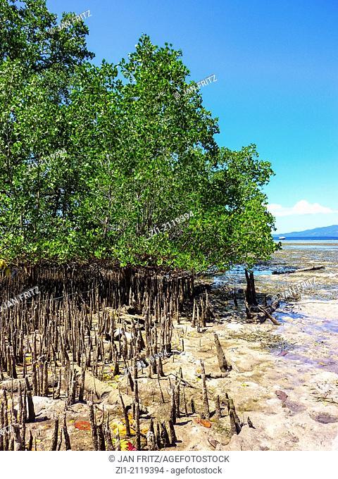 mangrove at Bunaken island, Sulawesi, Indonesia