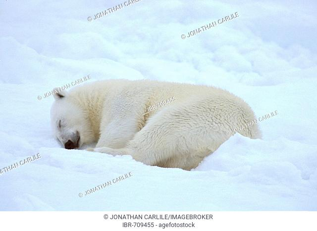 Polar Bear (Ursus maritimus) sleeping, Spitzbergen, Svalbard, Arctic Ocean